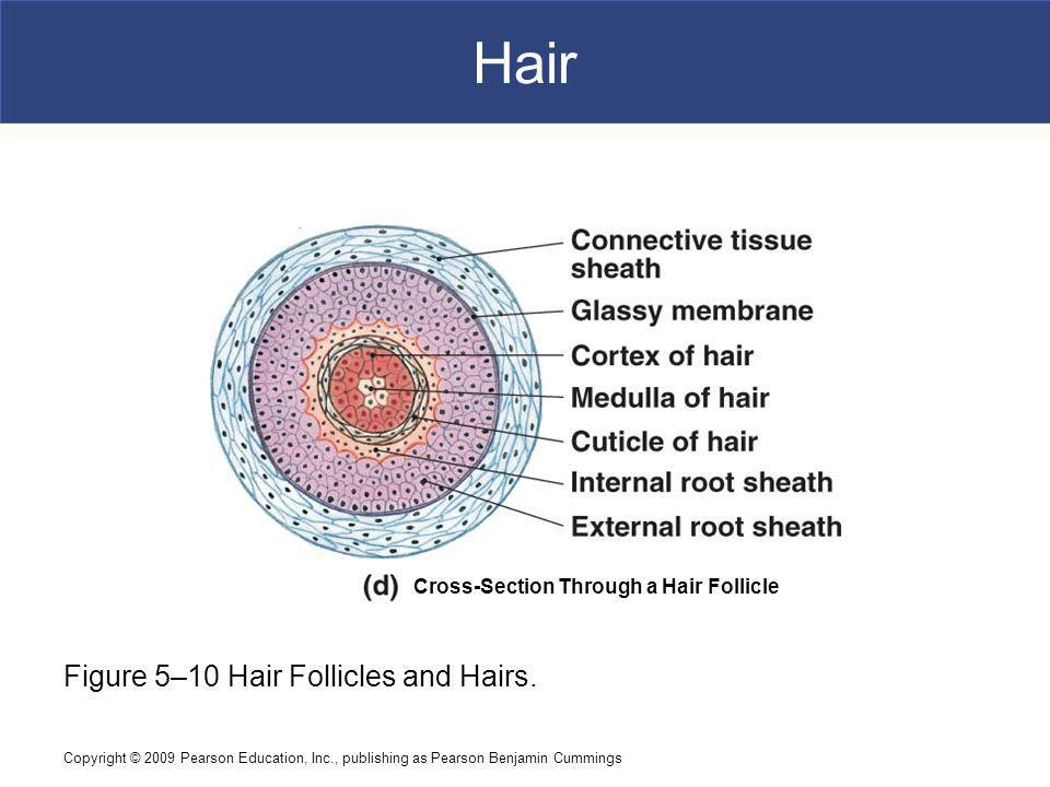 Hair Figure 5–10 Hair Follicles and Hairs.