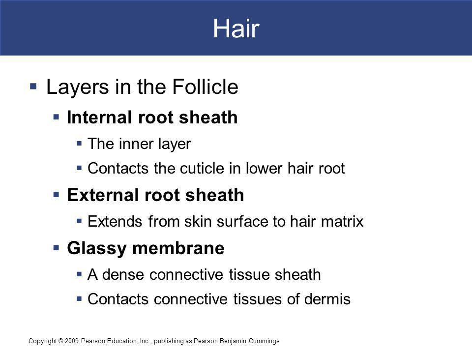 Hair Layers in the Follicle Internal root sheath External root sheath