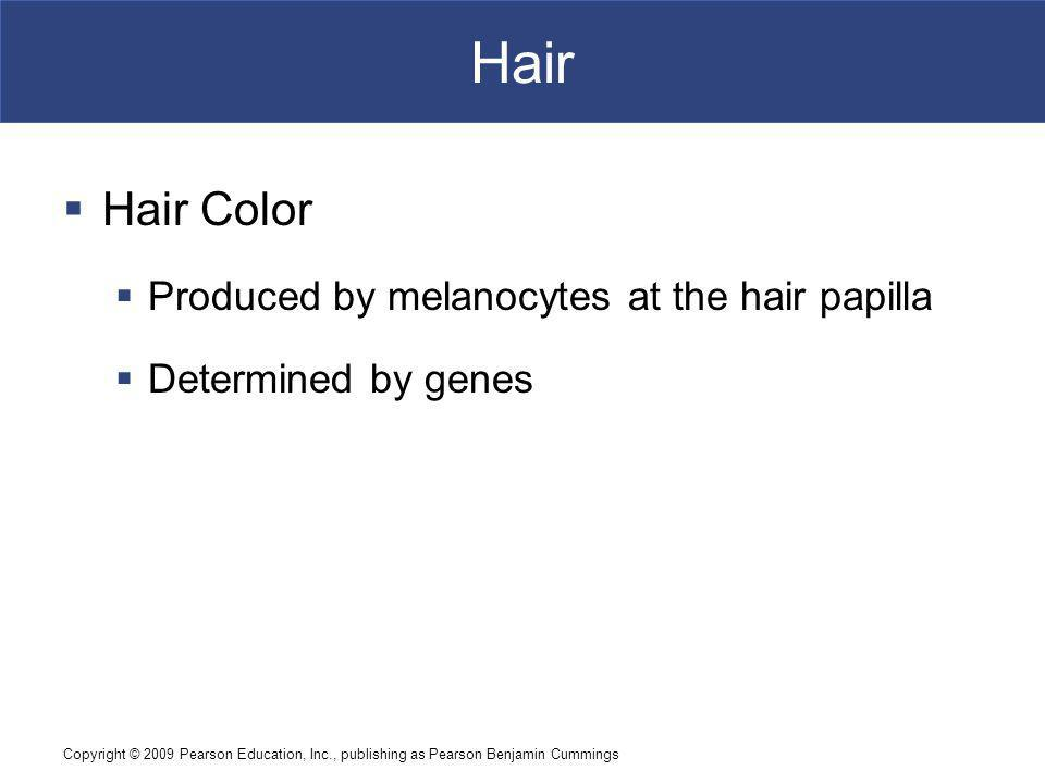 Hair Hair Color Produced by melanocytes at the hair papilla