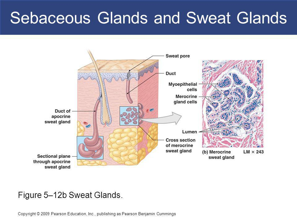 Sebaceous Glands and Sweat Glands
