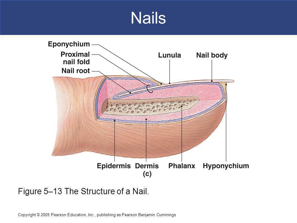 Nail Diagram Pearson Diy Enthusiasts Wiring Diagrams