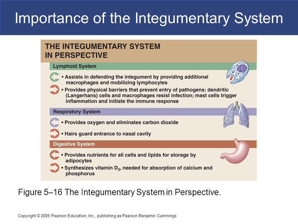 Importance of the Integumentary System