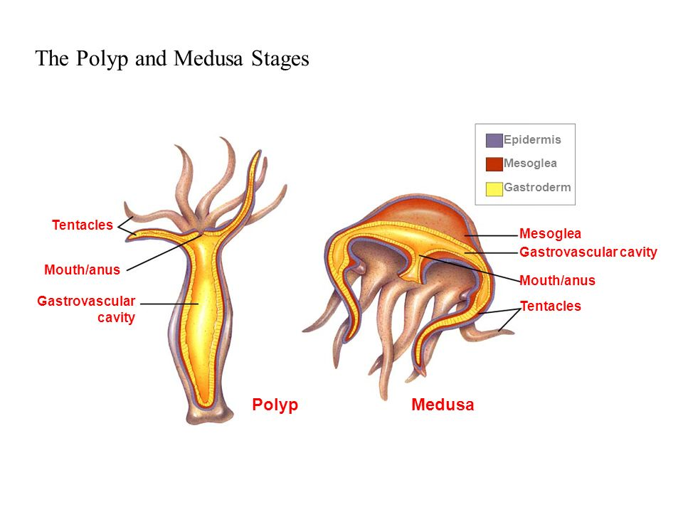 The Polyp and Medusa Stages