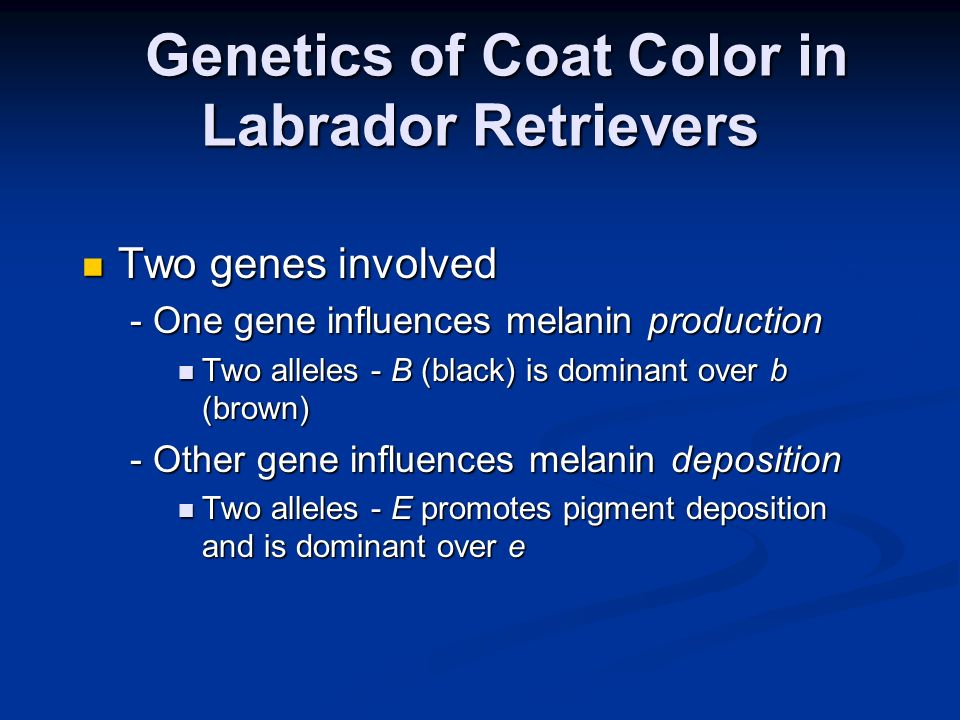 Genetics of Coat Color in Labrador Retrievers