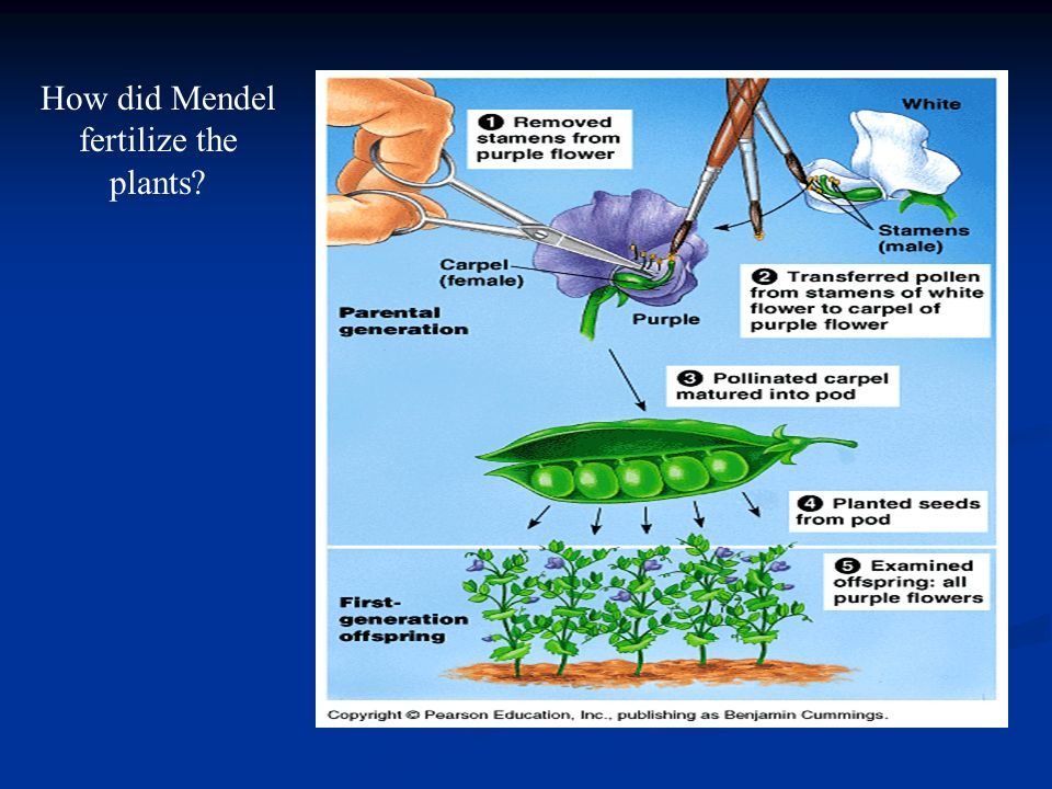 How did Mendel fertilize the plants