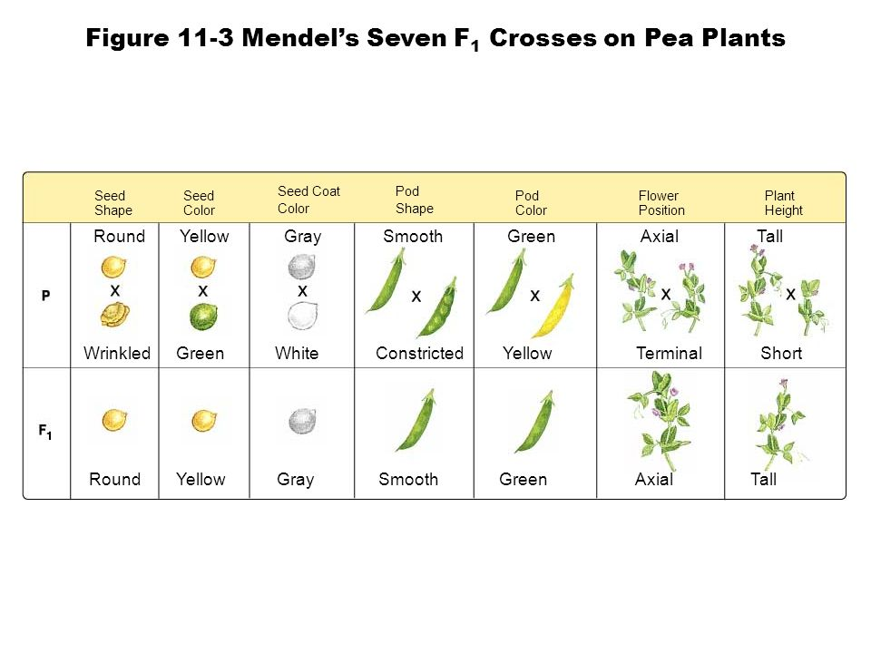 Figure 11-3 Mendel's Seven F1 Crosses on Pea Plants
