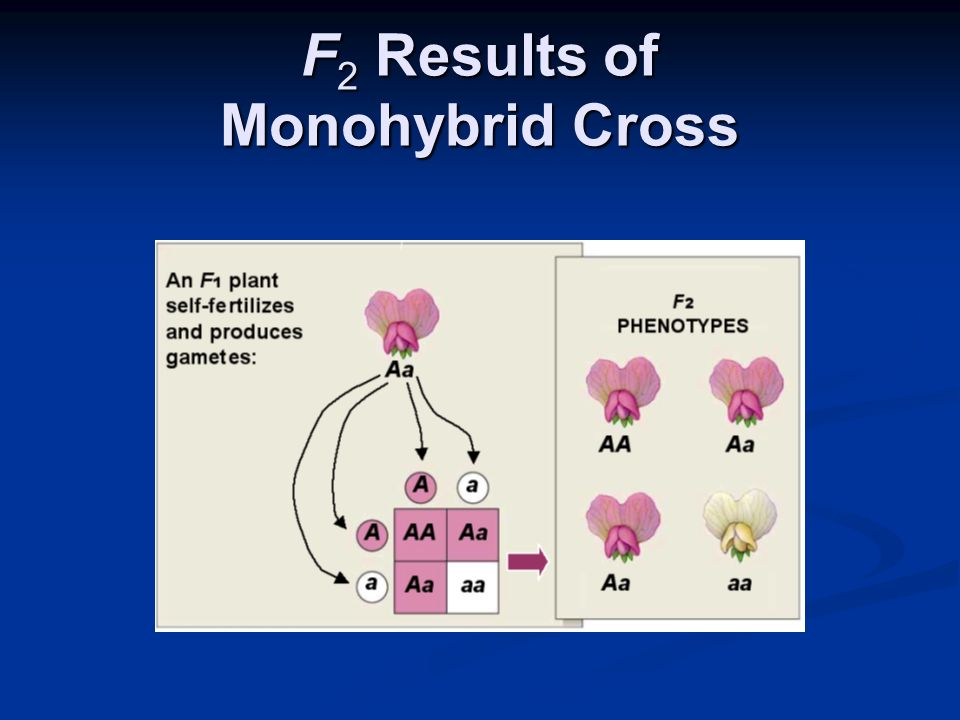 F2 Results of Monohybrid Cross