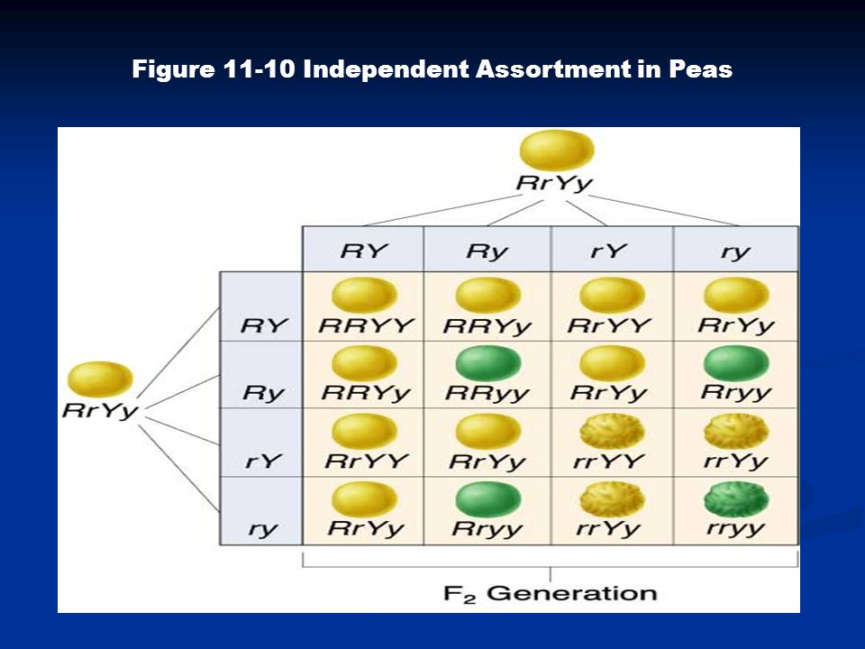 Figure 11-10 Independent Assortment in Peas