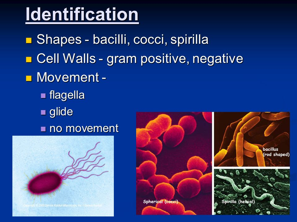 Identification Shapes - bacilli, cocci, spirilla