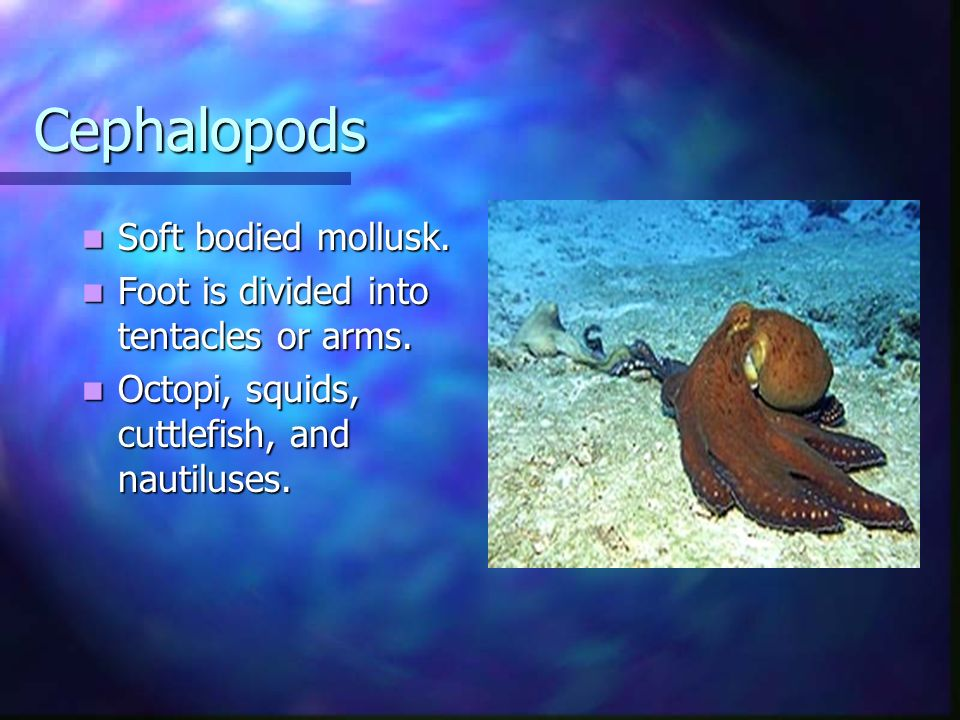 Cephalopods Soft bodied mollusk.
