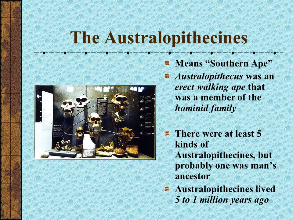 The Australopithecines