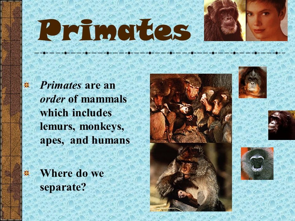 Primates Primates are an order of mammals which includes lemurs, monkeys, apes, and humans.