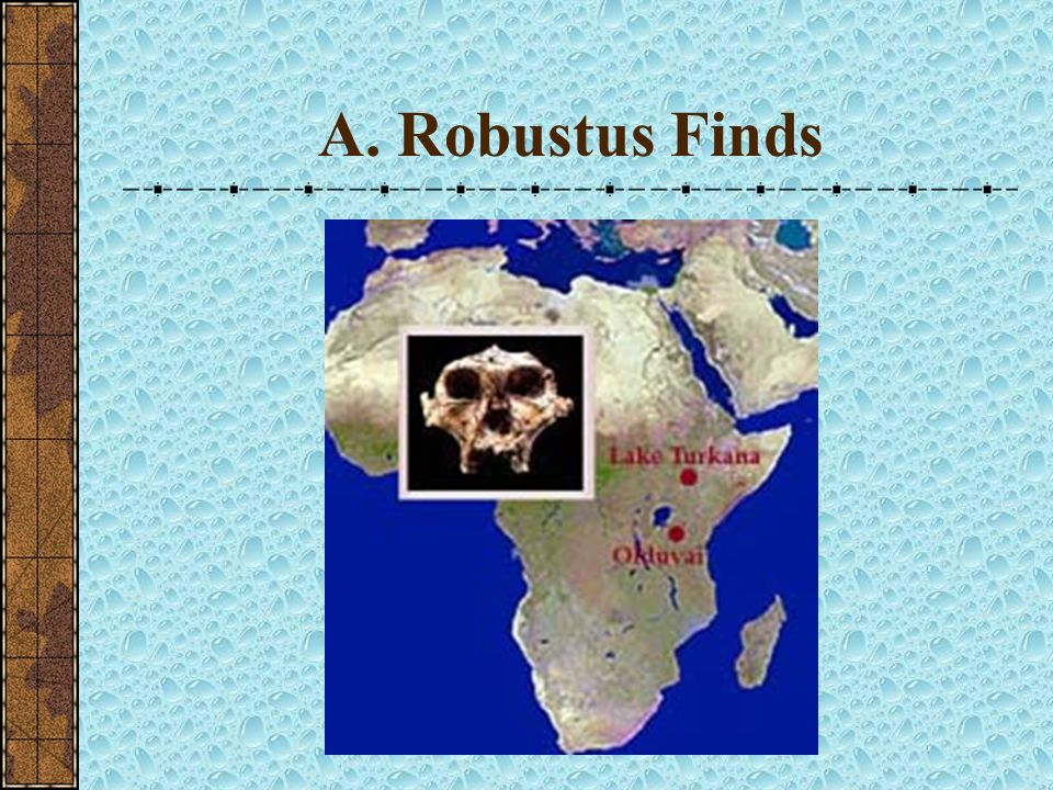 A. Robustus Finds