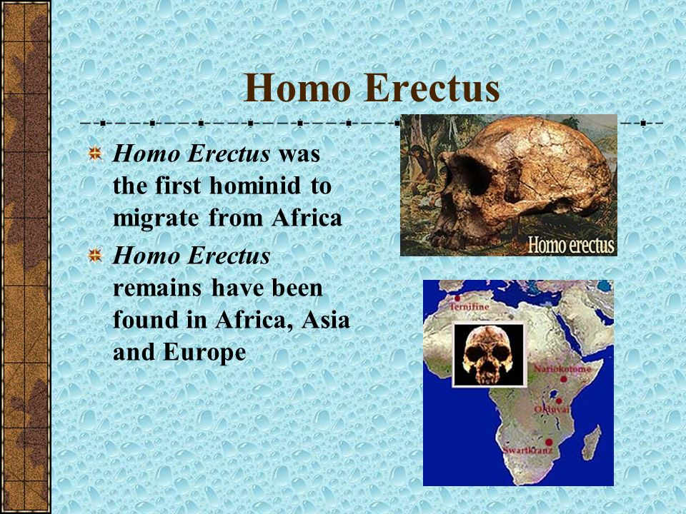 Homo Erectus Homo Erectus was the first hominid to migrate from Africa