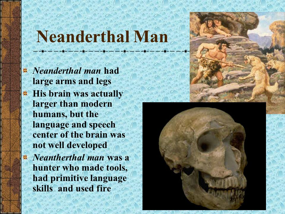Neanderthal Man Neanderthal man had large arms and legs