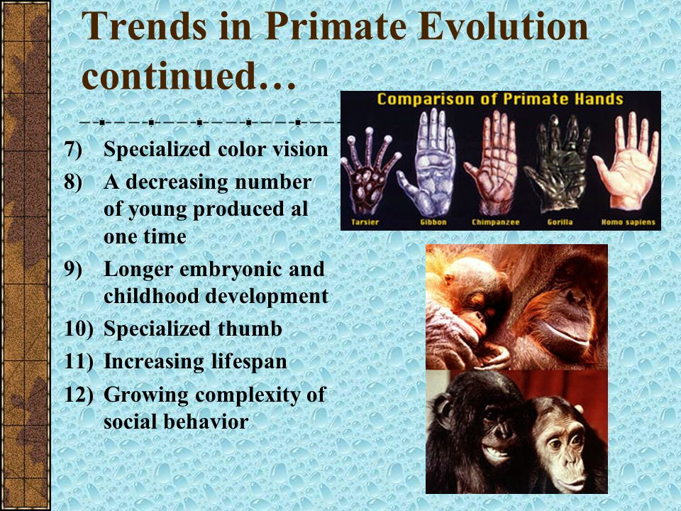 Trends in Primate Evolution continued…