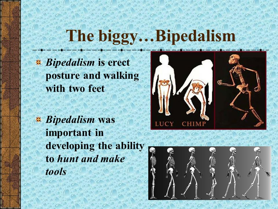 The biggy…Bipedalism Bipedalism is erect posture and walking with two feet.
