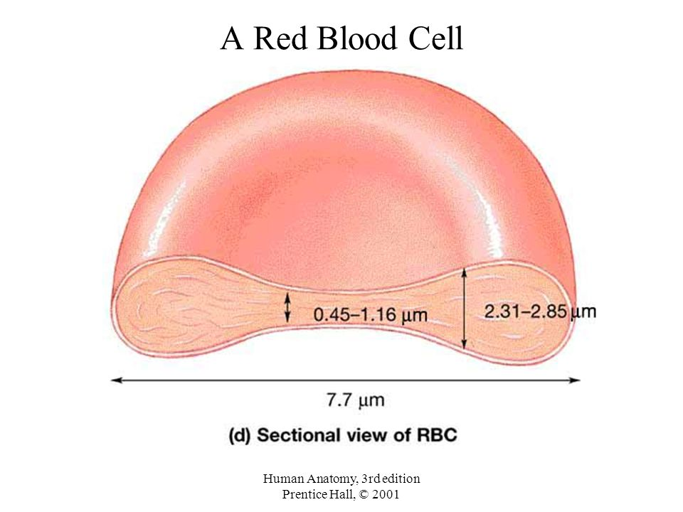 Luxury Blood Cell Anatomy Festooning - Anatomy And Physiology ...
