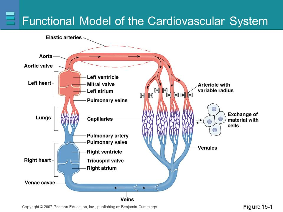 Blood Flow and the Control of Blood Pressure - ppt video online download