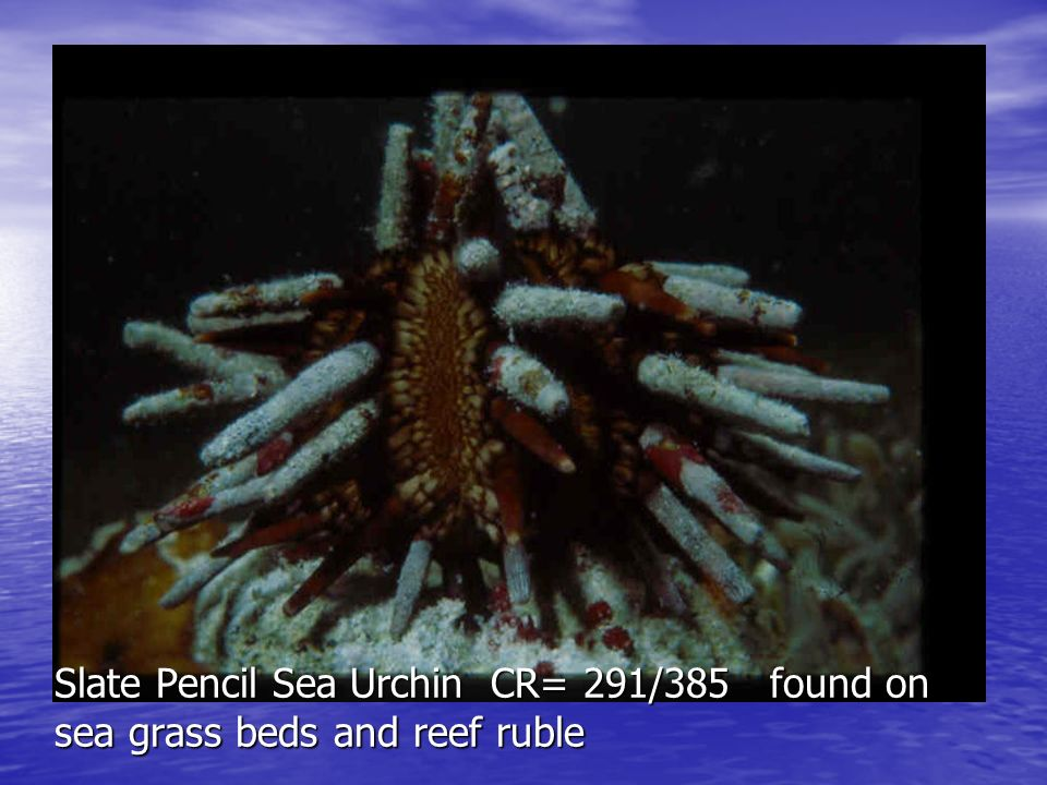 Rock Boring sea Urchin CR-289/380 Aboral View - shorter spines- shallow rocky tidal area