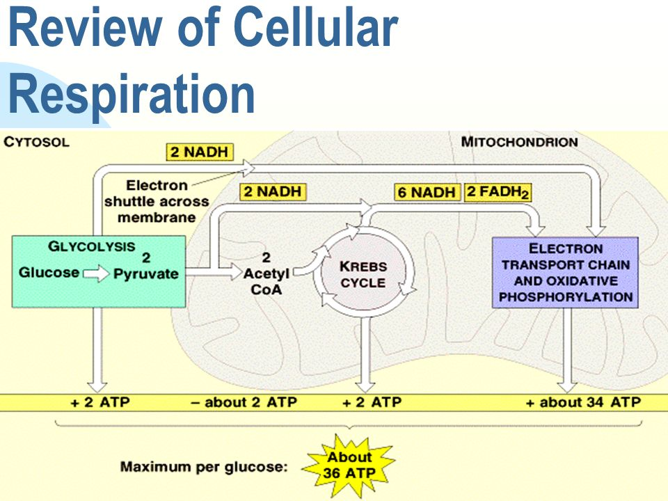 Review of Cellular Respiration