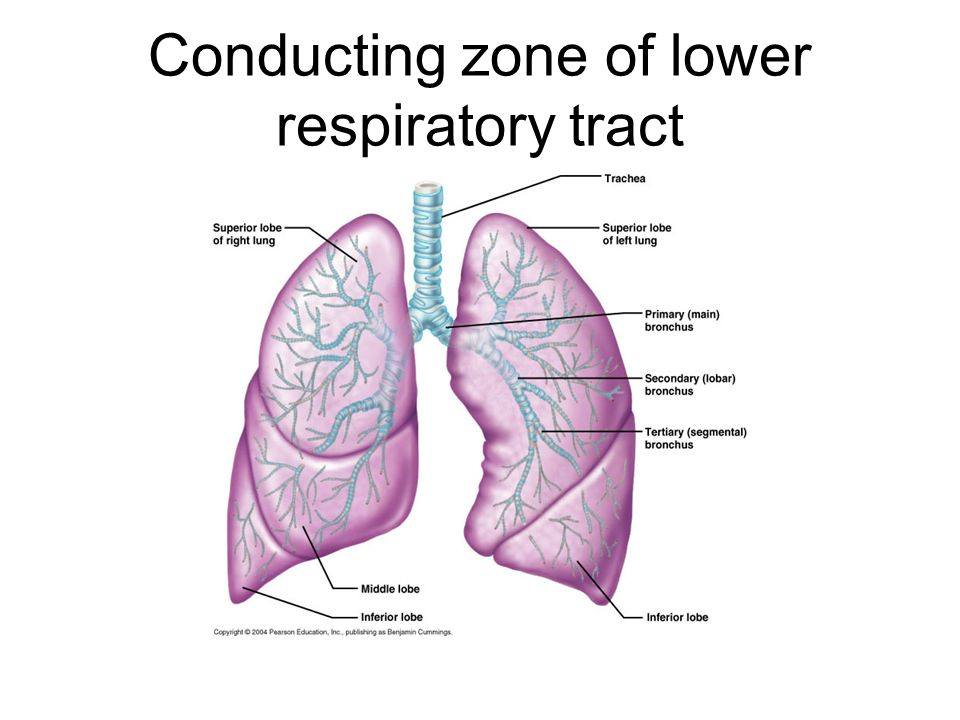 Respiratory System Normal Structurecongenital Anomalies