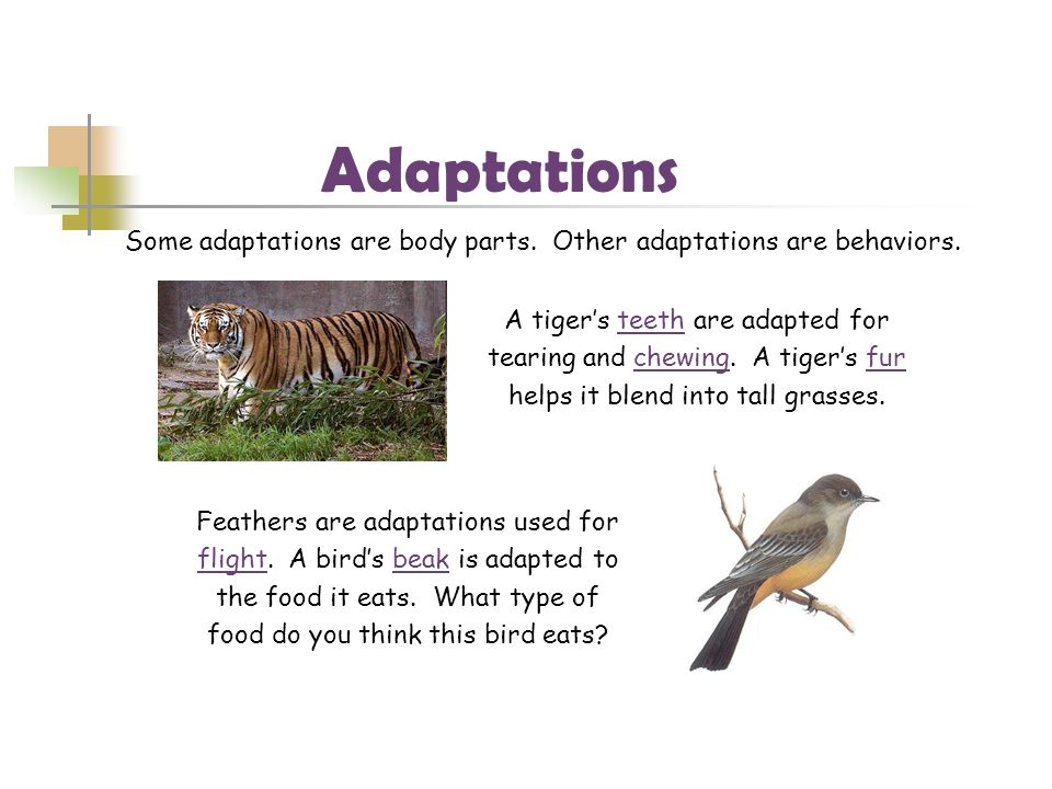 Adaptations Some adaptations are body parts. Other adaptations are behaviors. A tiger's teeth are adapted for.