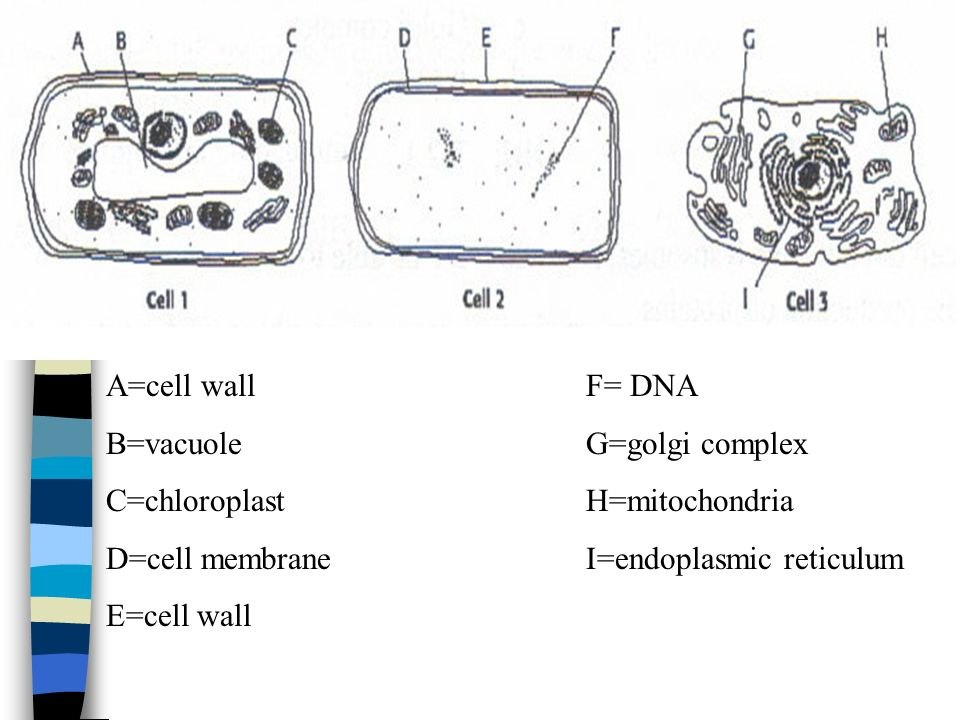 A=cell wall F= DNA B=vacuole G=golgi complex. C=chloroplast H=mitochondria. D=cell membrane I=endoplasmic reticulum.