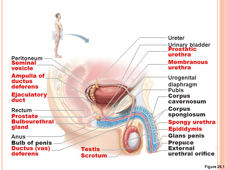Human Anatomy And Physiology Male Reproductive System Ppt Video
