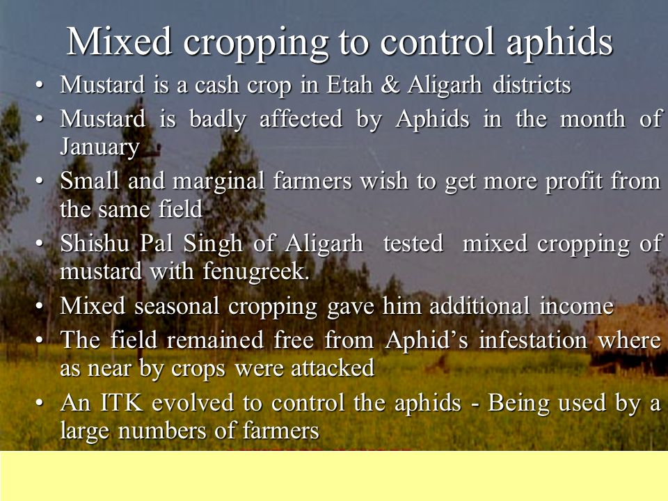 Mixed cropping to control aphids