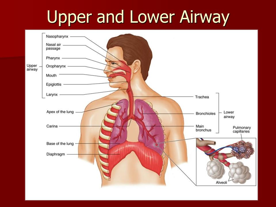 Upper And Lower Airway Diagram - Auto Wiring Diagram Today •