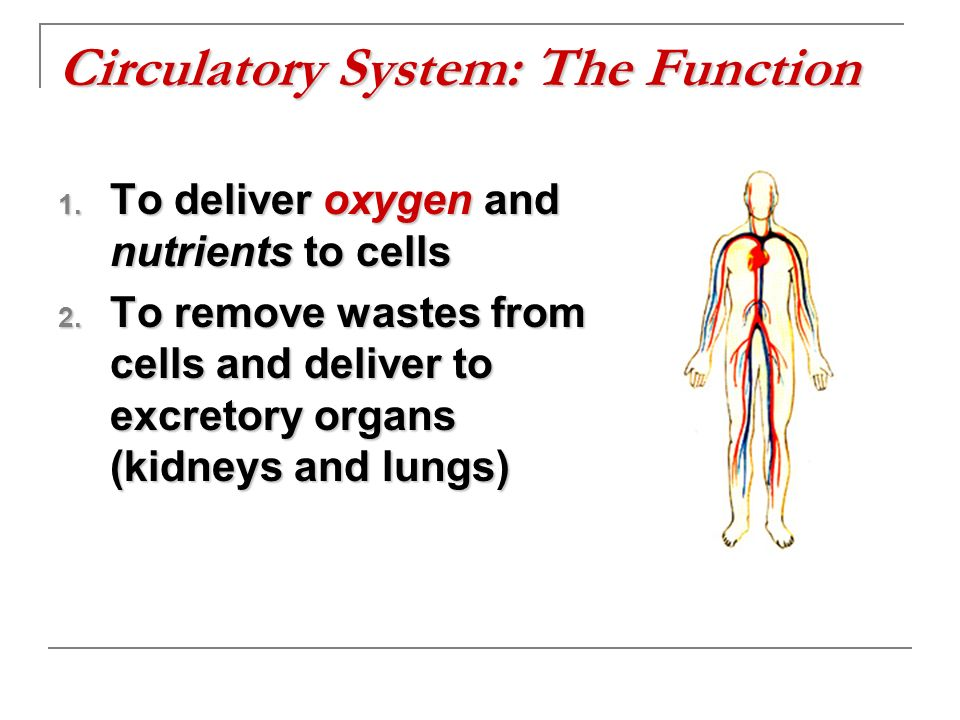 Circulatory System: The Function
