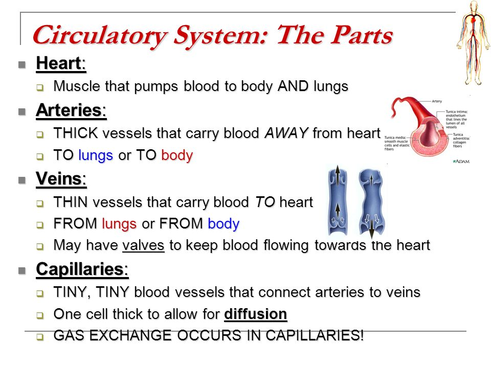 Circulatory System: The Parts