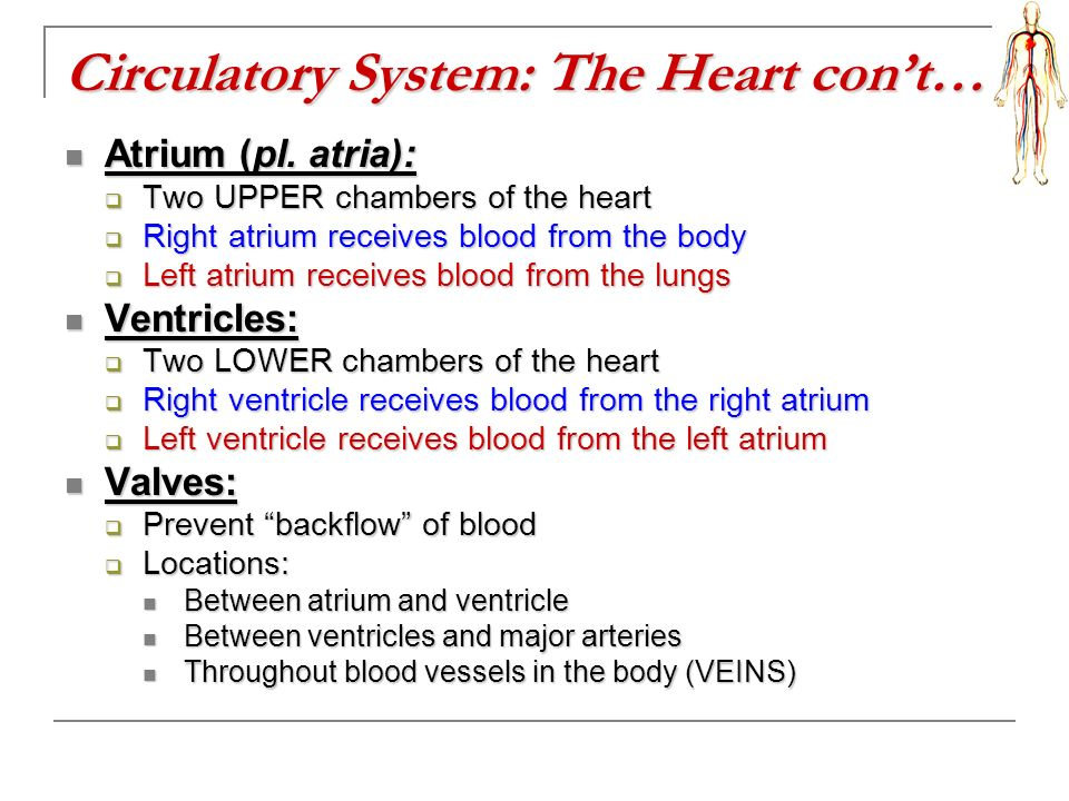 Circulatory System: The Heart con't…
