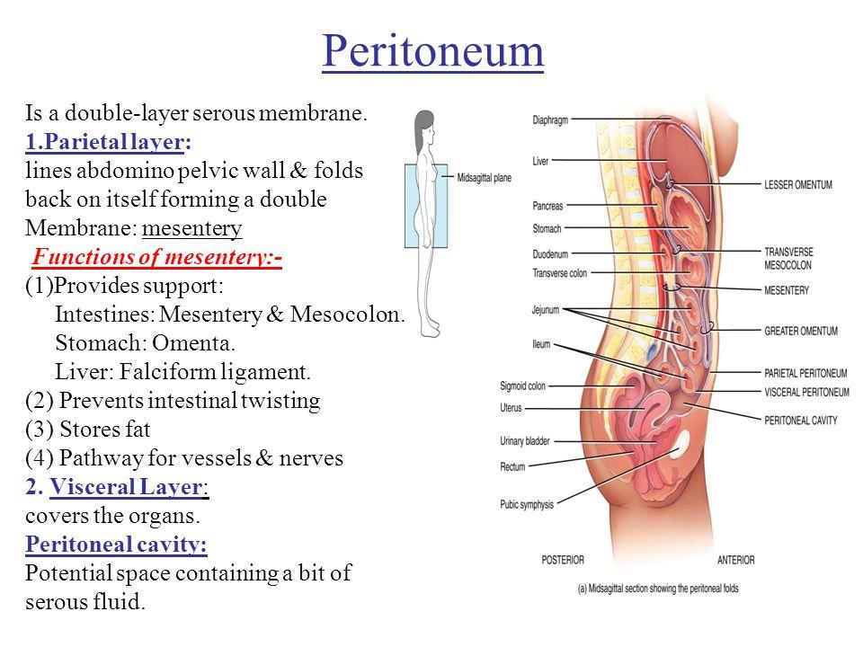 peritoneum ppt video online download rh slideplayer com Abdominal Mesentery Peritoneum Anatomy