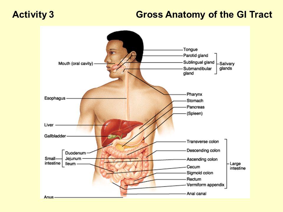 Gastrointestinal Tract Anatomy Gallery - human body anatomy