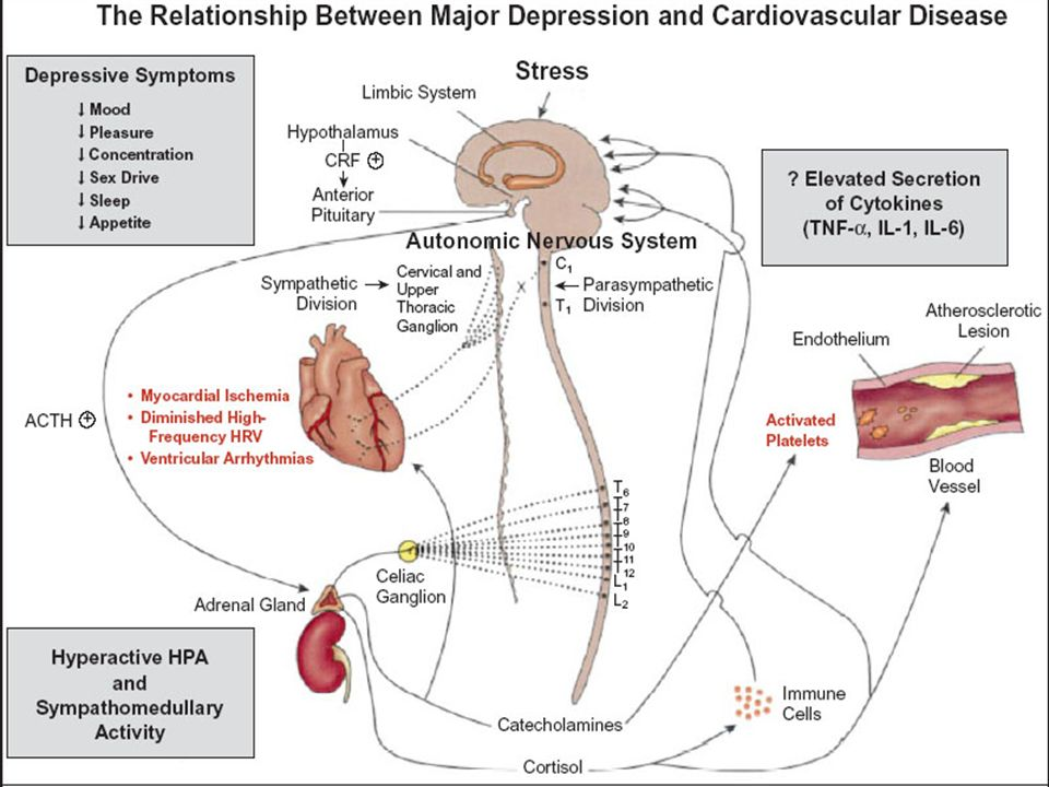 CNS is proposed to play a major role in the etiology of both mood states/depression and CV dysregulation via positive and negative feedback systems. The peripheral nervous system changes are likely mediated by brain mechanisms that can lead to specific cardiac events. Feedback from the CVS to the brain perpetuates the cycle of dysregulation and may also lead to depressive symptoms. The influence of exogenous stressors, either alone or coupled with genetic or experiential predisposition may play a role in the initiation of depression and in the pathogenesis of heart disease.
