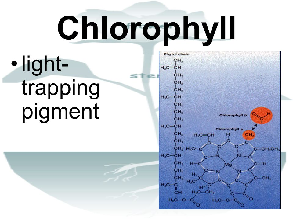Chlorophyll light-trapping pigment