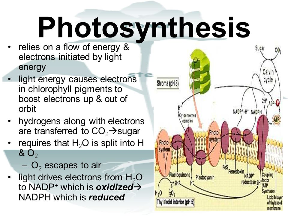 Photosynthesis relies on a flow of energy & electrons initiated by light energy.