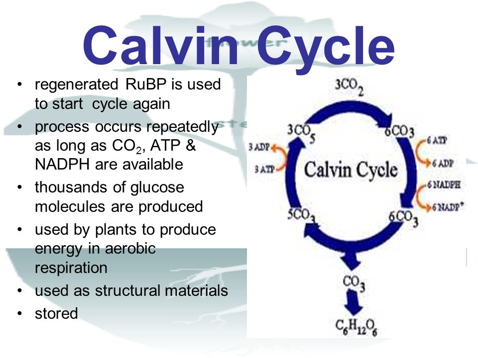 Calvin Cycle regenerated RuBP is used to start cycle again