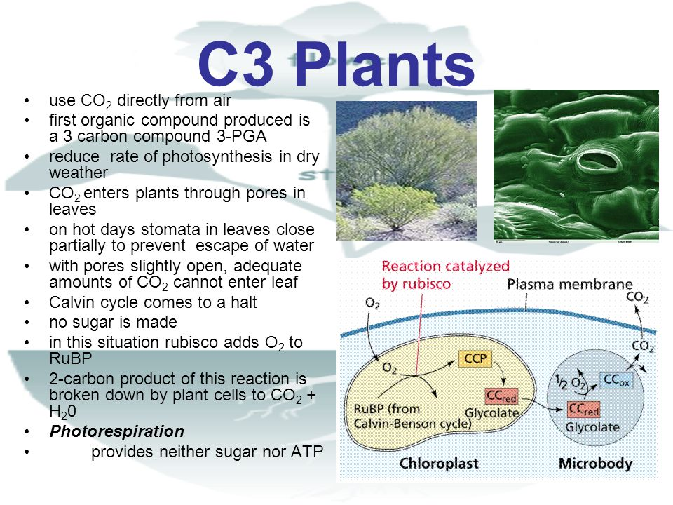C3 Plants use CO2 directly from air
