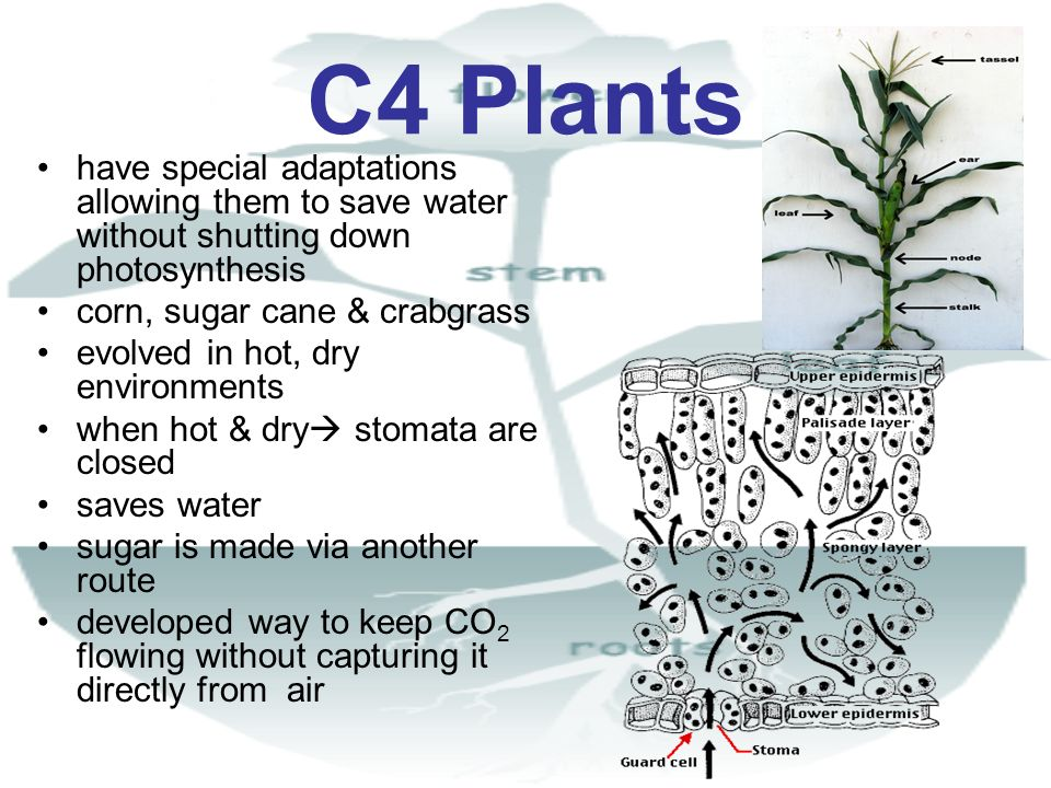 C4 Plants have special adaptations allowing them to save water without shutting down photosynthesis.