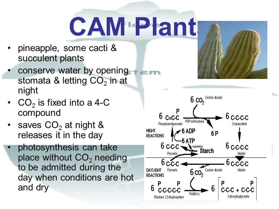 CAM Plants pineapple, some cacti & succulent plants