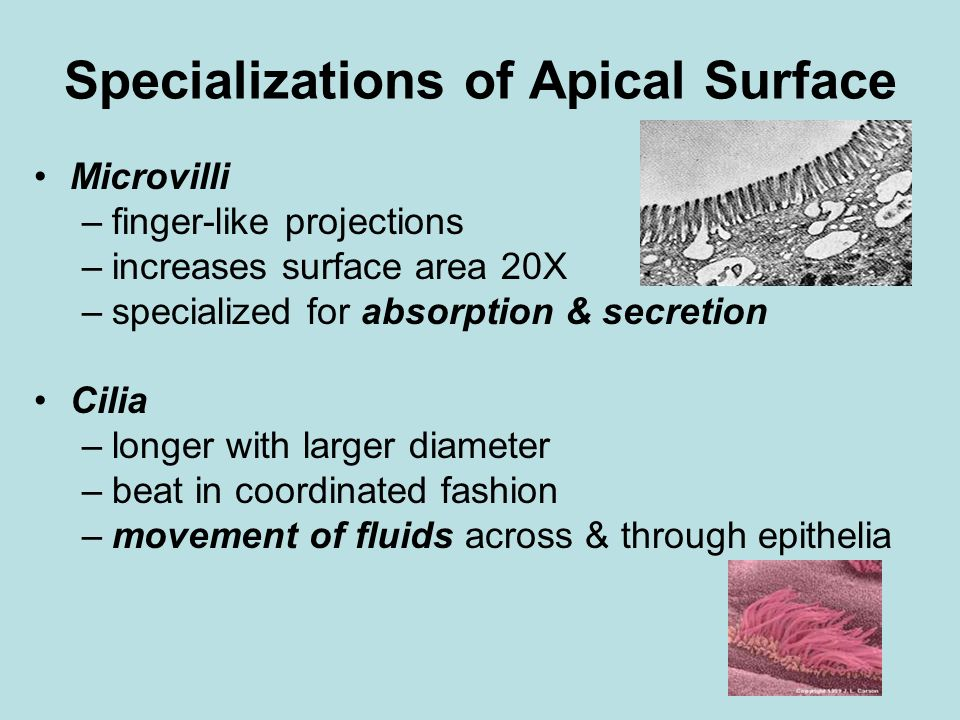 Specializations of Apical Surface