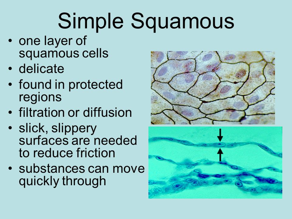 Simple Squamous one layer of squamous cells delicate
