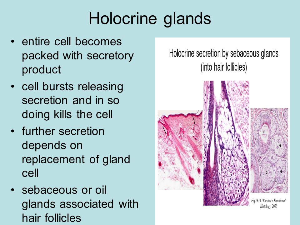 Holocrine glands entire cell becomes packed with secretory product