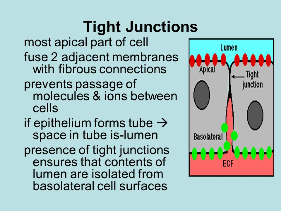 Tight Junctions most apical part of cell
