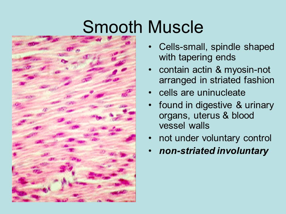 Smooth Muscle Cells-small, spindle shaped with tapering ends