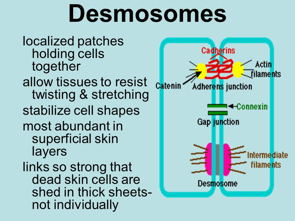 Desmosomes localized patches holding cells together