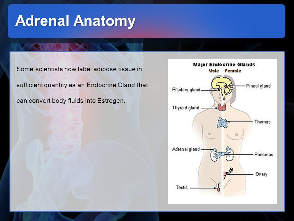Adrenal Anatomy Some scientists now label adipose tissue in sufficient quantity as an Endocrine Gland that can convert body fluids into Estrogen.